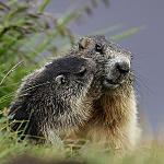 Close encounters in Fassa valley - ..a Marmot and a smile...